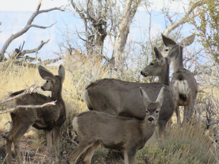 Rim Trails: Mule deer near Desert View lookout - © William Mackesy