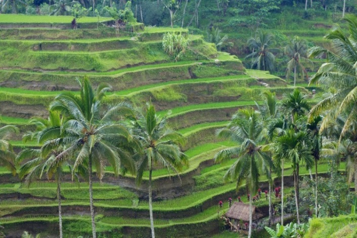 Tegallalang Rice Terraces  - © flickr user- McKay Savage