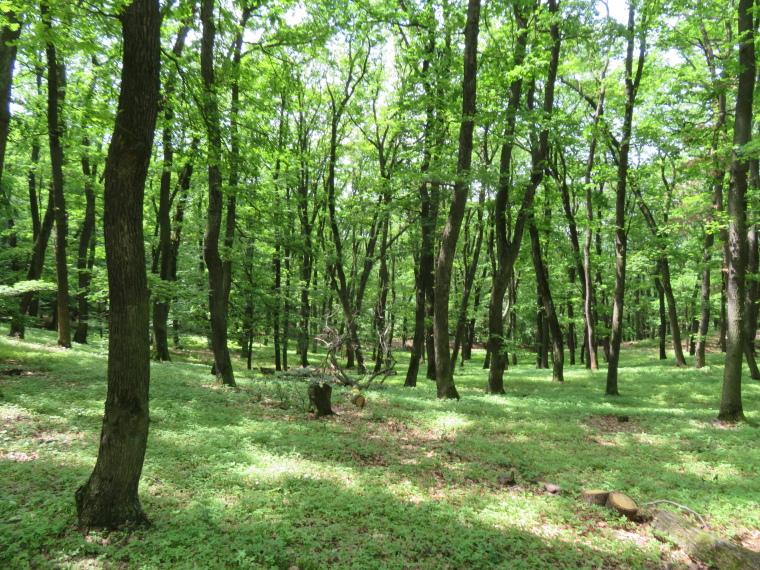 Transylvania: Forest above Copsa Mare - © William Mackesy
