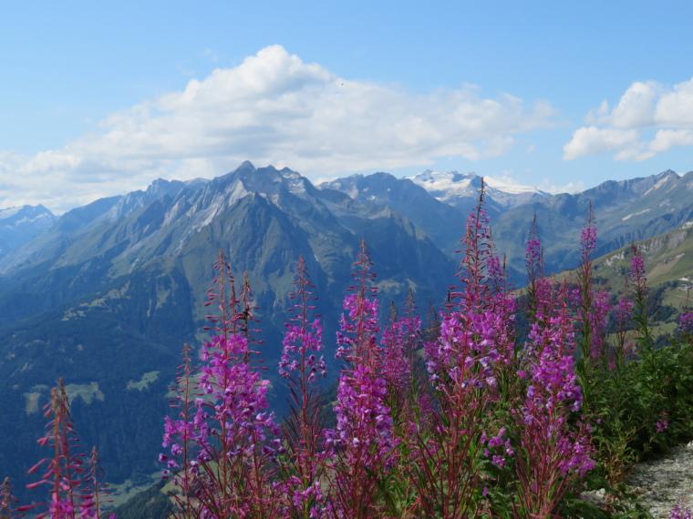 Austria Hohe Tauern, Granatspitze Ridge, Flowers with Gorssvenediger from Panoramaweg, Walkopedia
