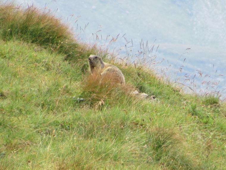 Above Kals am Grossglockner: Marmot above Luckner Hut - © Geordie Mackesy