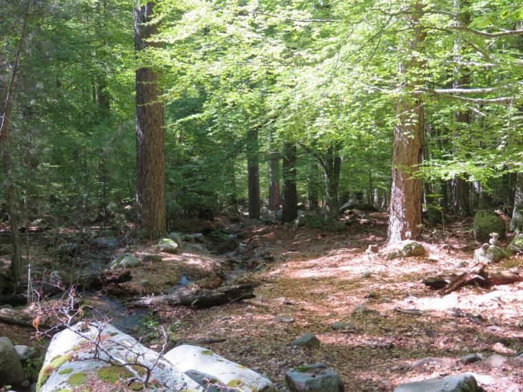 Evisa to Col de Vergio: Dappled light in upper forest - © William Mackesy