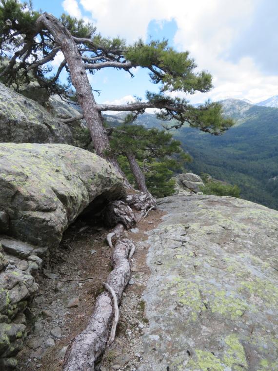 Evisa to Col de Vergio: Longest root ever... - © William Mackesy