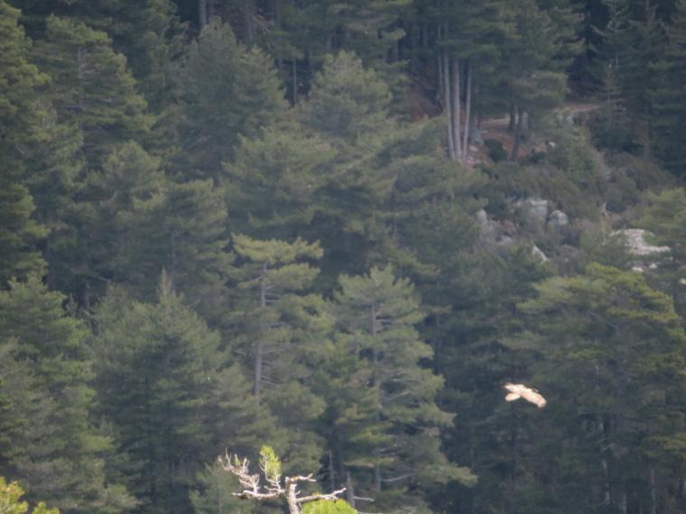 Evisa to Col de Vergio: Lammergeyer (bearded vulture), ultra-rare - © William Mackesy