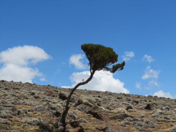 Sanetti Plateau: Lonely giant heather - © William Mackesy