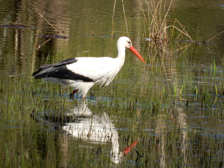 Netherlands East, Noaberpad, A stork, Walkopedia