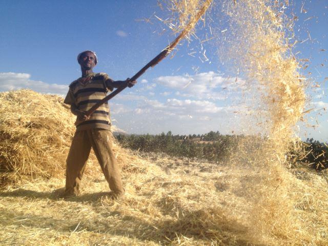 Ethiopia Lalileba Area, Around Lalileba, Harvest, Wollo trek, Walkopedia