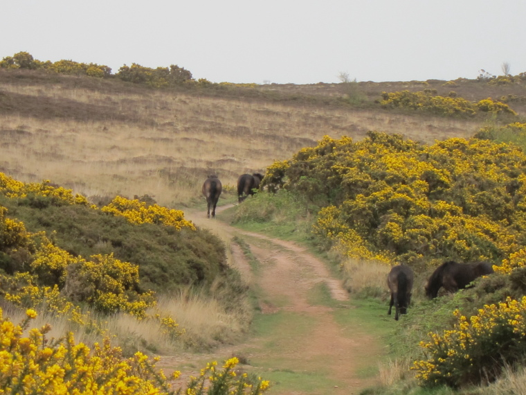 United Kingdom England South-west Exmoor, Exmoor, Exmoor ponies west of Minehead, Walkopedia