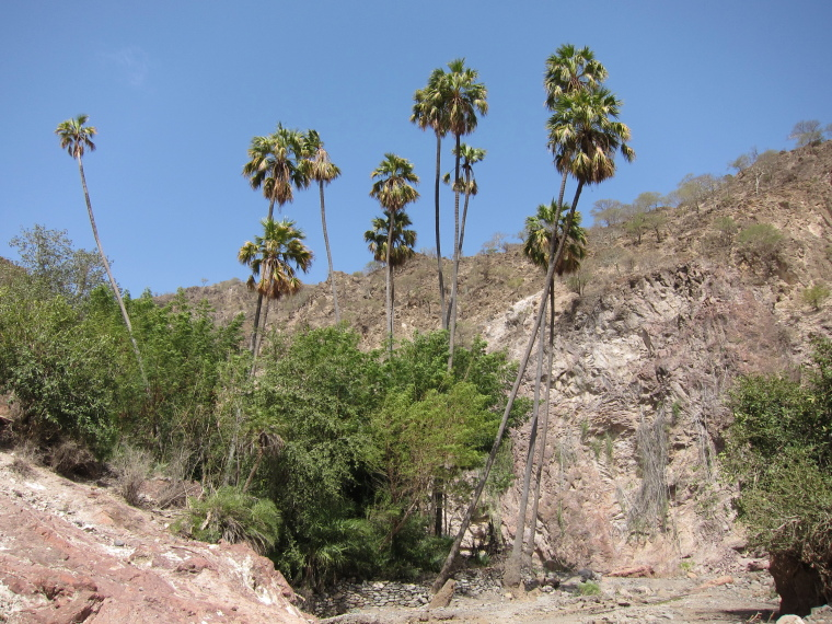 Goda Mountains: Livistona carinensis Goda - © Wikimedia user Plantsman