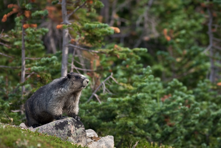 Cavell Meadows and Path of Glacier Trail: Hoary Marmot in Cavell meadow - © Flickr user Dave Kuehn