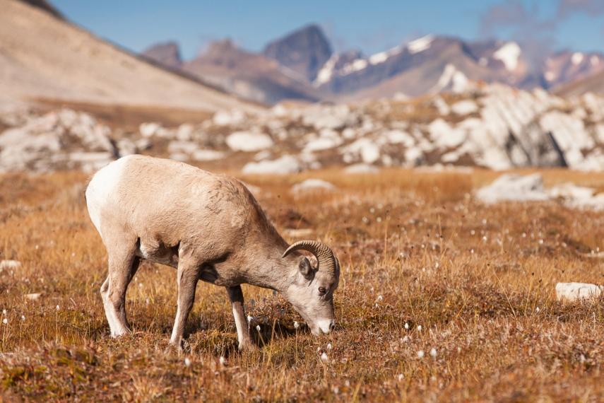 Wilcox Pass: Just enjoying a relaxing graze - © Flickr user Fred Dunn