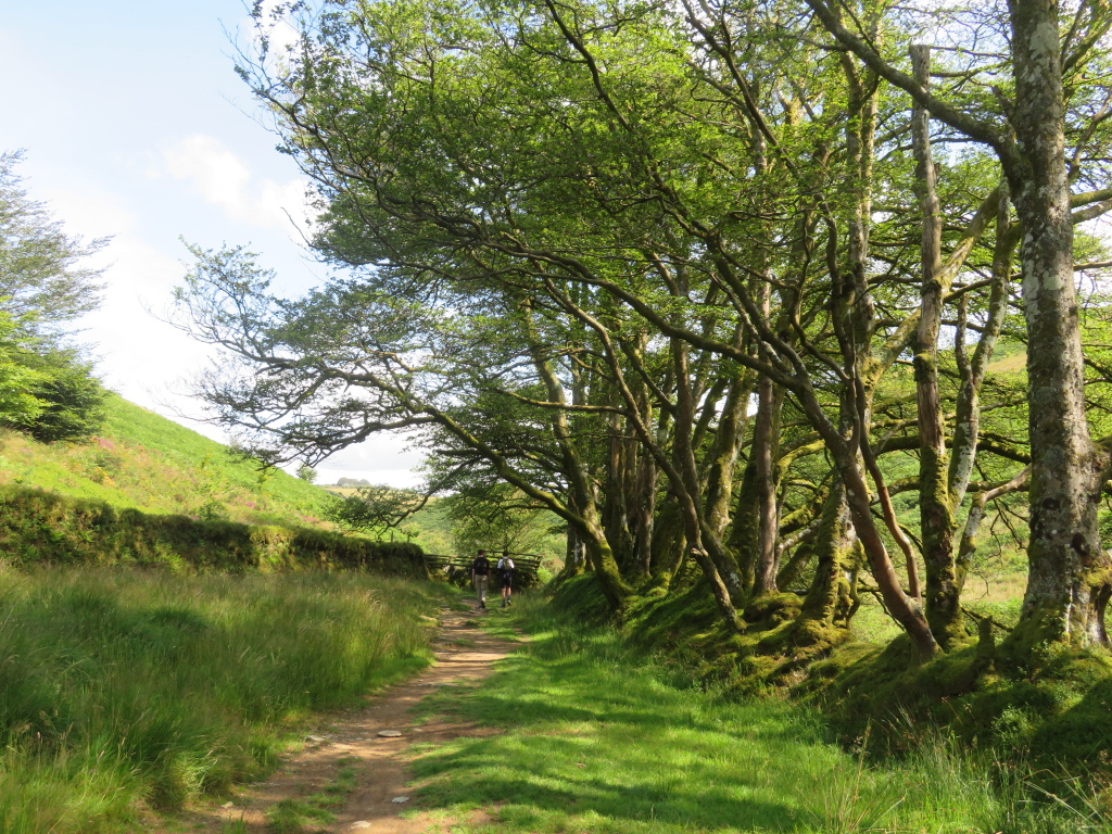 Old hedge south of Simonsbath - © William Mackesy