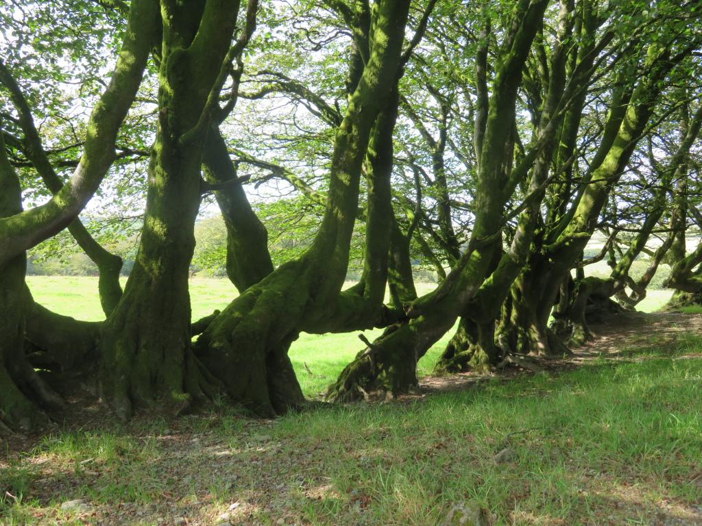 Old hedge near Simonsbath - © William Mackesy
