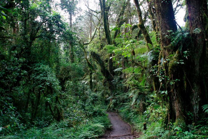 Tanzania Mount Kilimanjaro, Machame Route, Moss-covered trees of the rain forest, Walkopedia