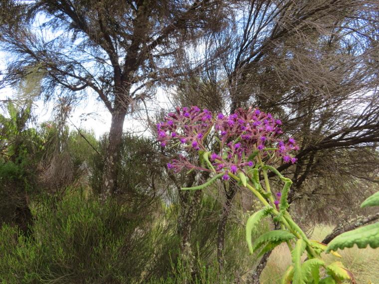 Lemosho and Shira Routes  : Day 2, beautiful heathland - © William Mackesy