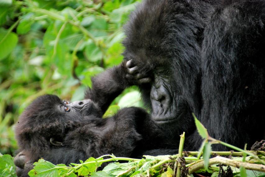 Rwanda, Virunga Mountains, Sabyinyo group of mountain gorillas. Volcanoes National Park, Rwanda, Walkopedia