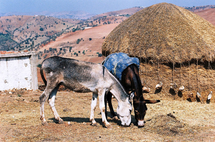 Donkeys of the Rif Mountains - © By Flickr user DeliranteBestiole