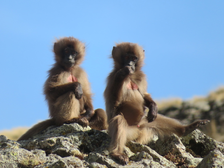 Gelada babies, Buahit - © William Mackesy