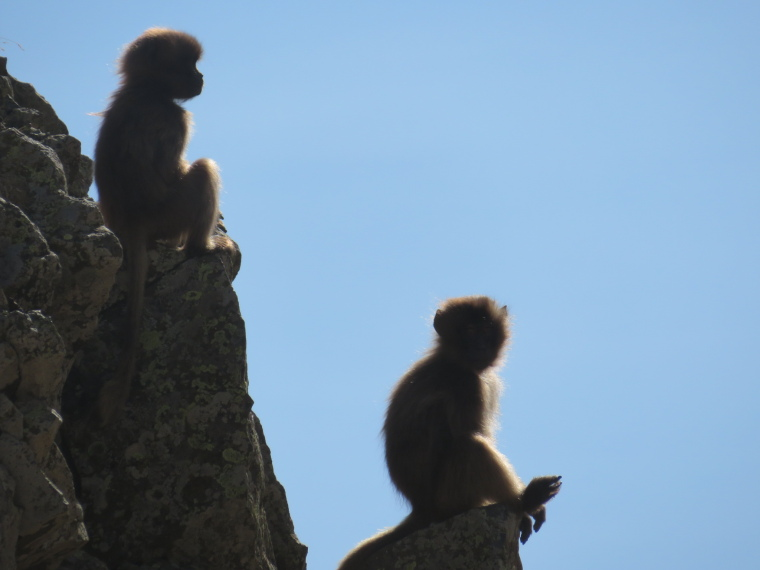 Ethiopia Simien Mts, Simien Mountains, Gelada babies, Buahit, Walkopedia