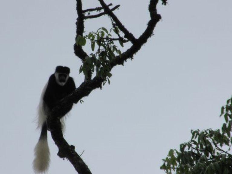 Bale Mountains: Colobus Monkey - © John Aird