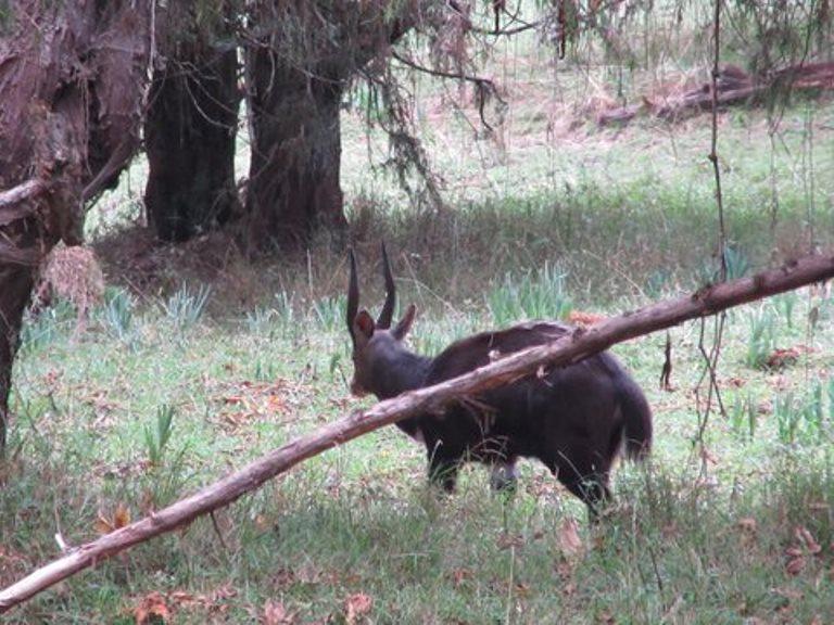 Nyala Antelope - © John Aird