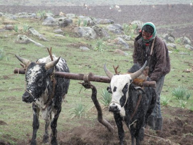 Ethiopia South Bale Mts, Bale Mountains, Ploughing with oxen, Walkopedia