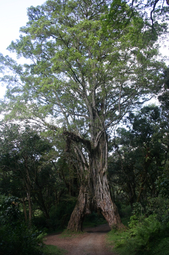 Mt Meru: Huge tree - © William Mackesy