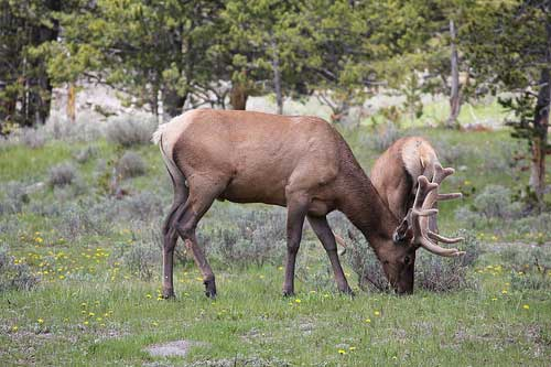 Mount Washburn - Big Elk - © By Flickr User daveynin