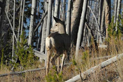 Mount Washburn - Mule Deer - © By Flickr User NDomer73