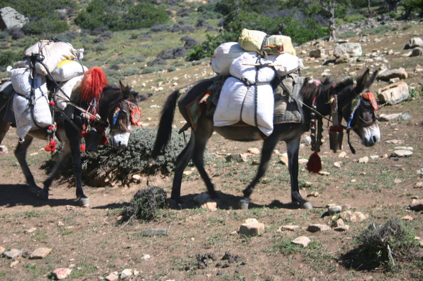 Pack Mules - © William Mackesy