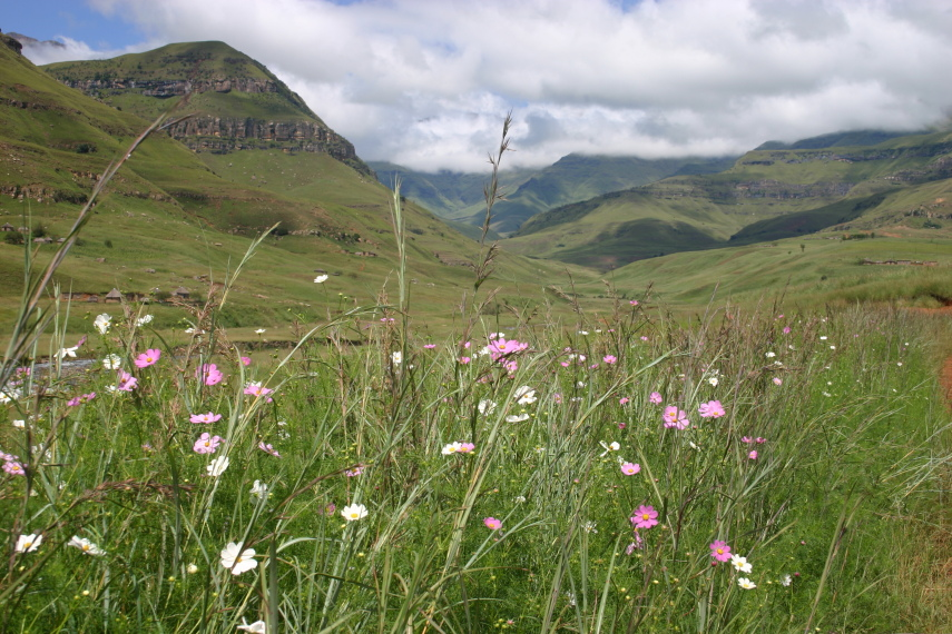 South Africa Drakensberg, North Drakensberg Traverse, Flower things, Walkopedia