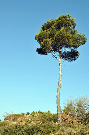 Montagne Sainte Victoire Tree - © From Flickr, by Anjci