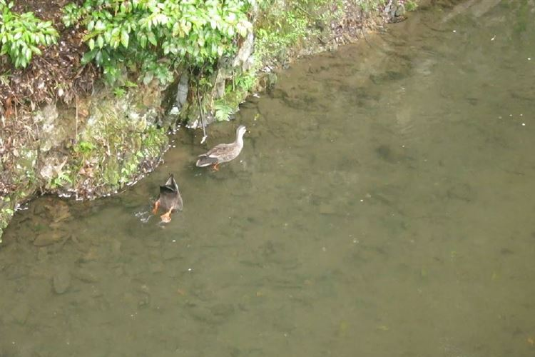 Daimonji-yama and Philosopher's Path, Kyoto: Ducks