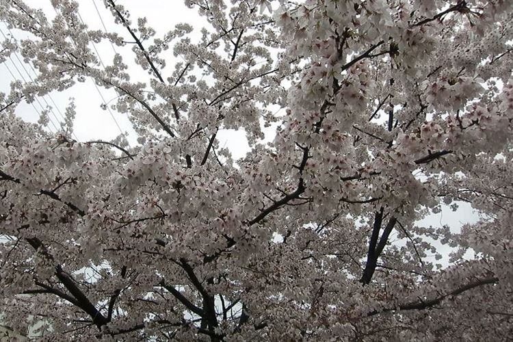 Daimonji-yama and Philosopher's Path, Kyoto: Cherry Blossoms