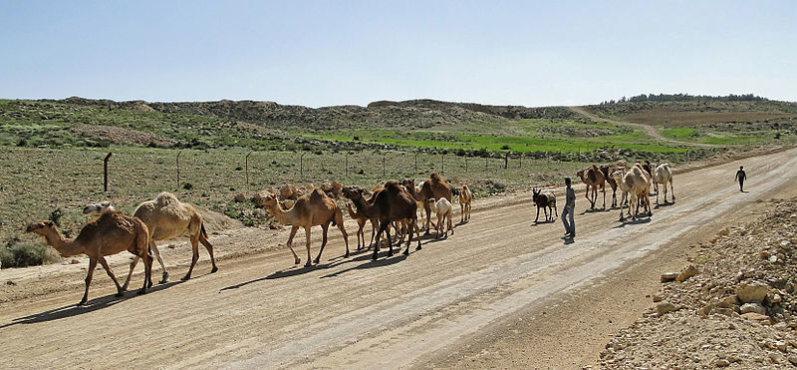 Dana Area: Camels in the Dana Reserve 8 - © wiki user Bernard Gagnon