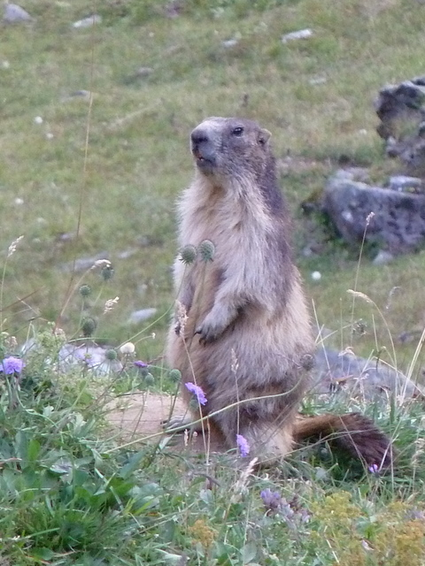 "Marmot near Refuge d""Entre-le-Lac - © Dick Everard"