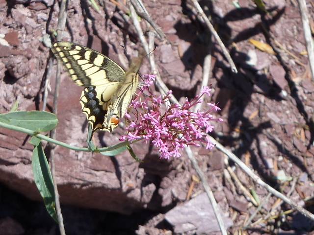 France Alps, GR5 or Grand Traverse des Alpes, Swallowtail on Narrow-leafed Valerian on descent into St Saveur sur Tinee, Walkopedia