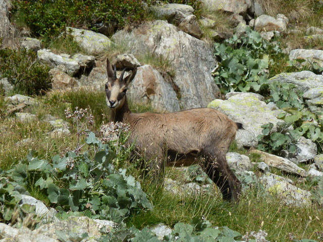 France Alps, GR5 or Grand Traverse des Alpes, Chamois on ascent to Pas du Mont Colomb (8360 feet), Walkopedia