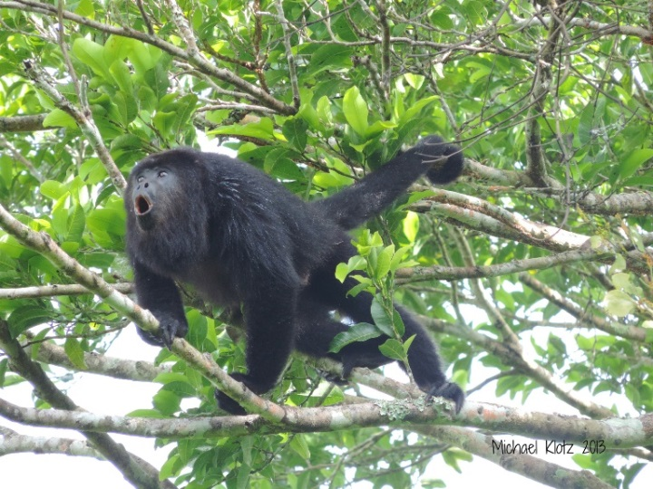 Mayan Belize: Mexican Black Howler Monkey - El Pilar, Belize  - © flickr user- Michael Klotz
