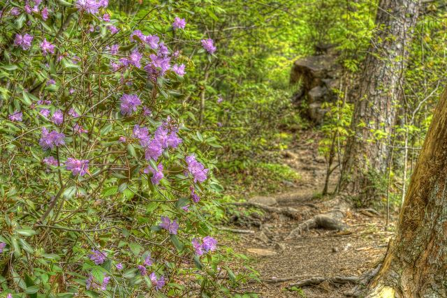 Appalachian Trail - rhododendrons on the trail - © Flickr user Jason Barnette Photography