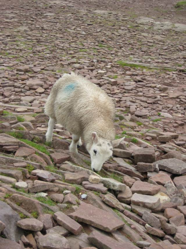 Snowdon sheep - © Copyright Lorna Dodds