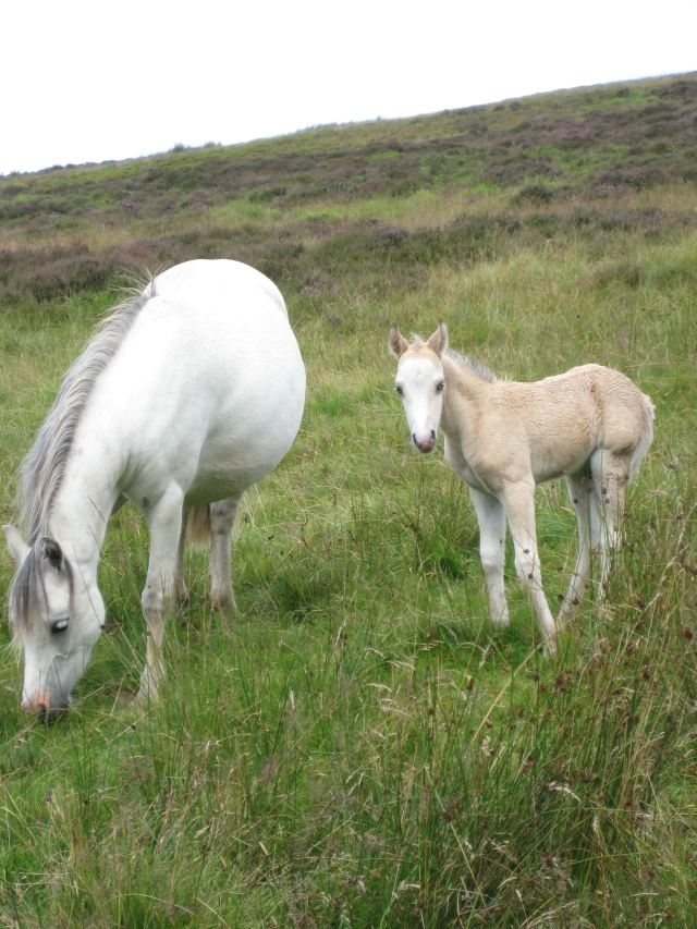 Snowdon - Ponies on the trail - © Copyright Lorna Dodds