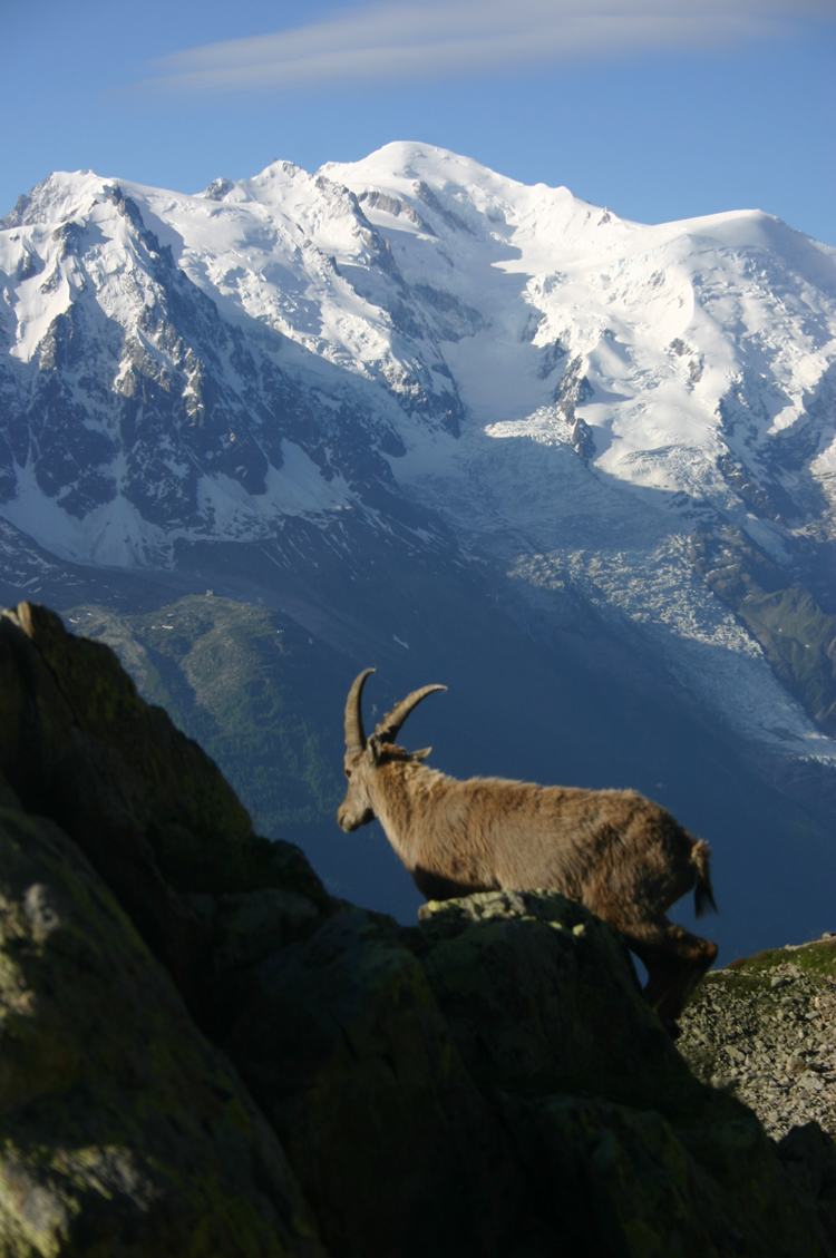 Mt Blanc with Ibex - ©William Mackesy