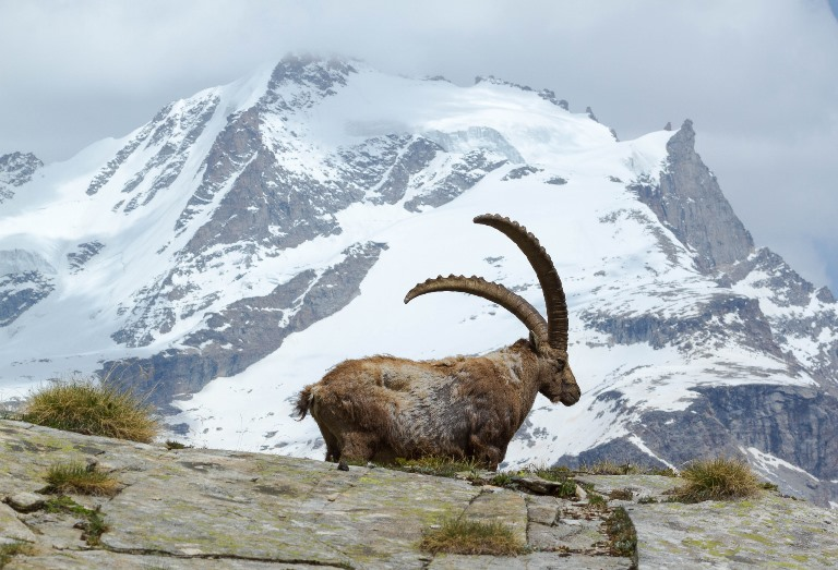Alta Via 2 (Gran Paradiso): The rock goat and the Gran Paradiso  - © flickr user- Fulvio Spada
