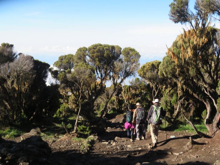 Tanzania Mount Kilimanjaro, Trekking Kilimanjaro , Giant heather, below Millennium camp, Walkopedia