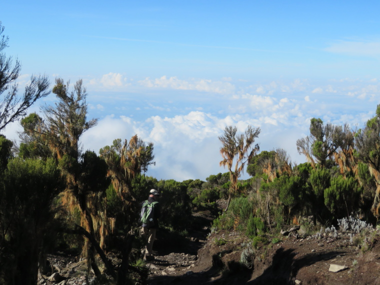 Tanzania Mount Kilimanjaro, Trekking Kilimanjaro , Giant heather, below Millennium camp 2, Walkopedia