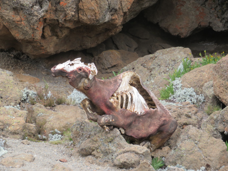 Tanzania Mount Kilimanjaro, Trekking Kilimanjaro , Weird dried carcass, above 3rd Cave camp, Walkopedia