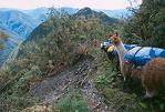 Cordillera Apolobamba Traverse (from Pelechuco): Lucky llamas - © John Benson