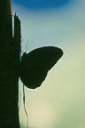 Cordillera Apolobamba Traverse (from Pelechuco): Butterfly - © John Benson