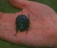 Cordillera Apolobamba Traverse (from Pelechuco): Small beetle - © John Benson